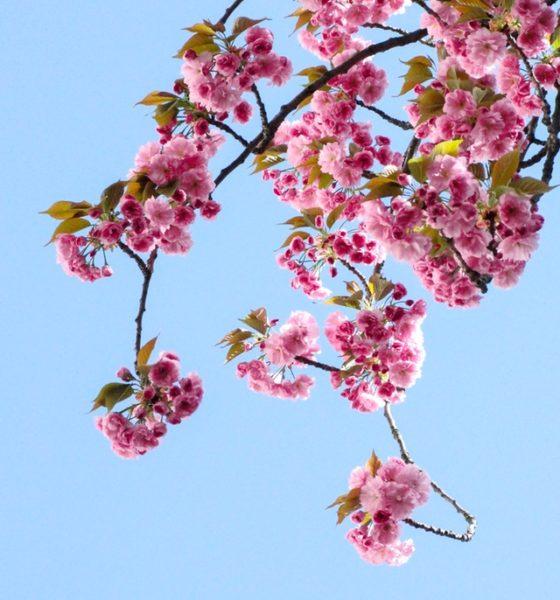 Mevsimlerden Kiraz Çiçeği…